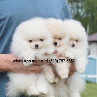 كلب صغير طويل الشعر الصغيرة الجراء للبيع,Two little Pomeranian
