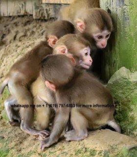 لدينا القرود من الذكور والإناث رائعتين للبيع