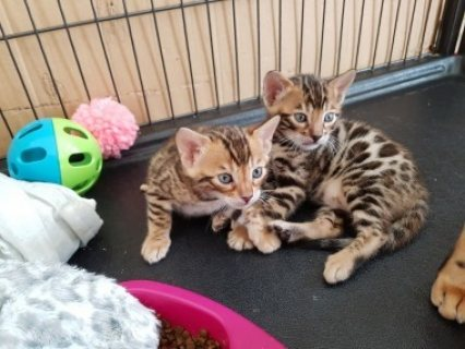 القطط البنغال رائعتين أنثى 10 أسبوع من العمر