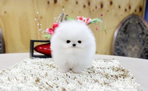 فنجان كلب صغير طويل الشعر الجراء لاعتماده
