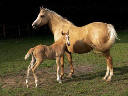 الحصان المدربة جيدا المتاحة للبيع.