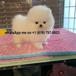 اثنين من كلب صغير طويل الشعر الجراء المتاحة