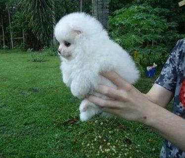 كلب صغير طويل الشعر للمنازل جيدة