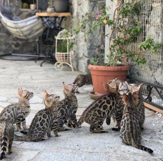 القطط البنغال
