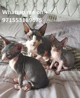 sphynx القطط الذكور والإناث المتاحة