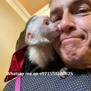 يتم فحصها البيطرية ومتناهية الصغر. القرود كابوتشين