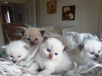 لطيف دوول القطط جاهزة للتأهيل