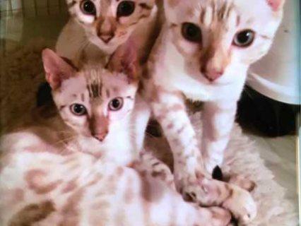 نمر الذهب رائع الفتيان والفتيات البنغال القطط جاهزة الآن