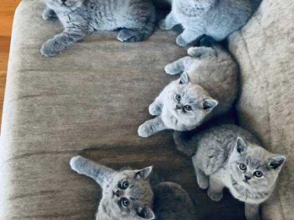 الأزرق البريطاني رائعتين عيون الشعر القصير القطط يحتاج إلى منزل جديد