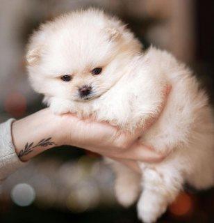 كلب صغير طويل الشعر المتاحة.