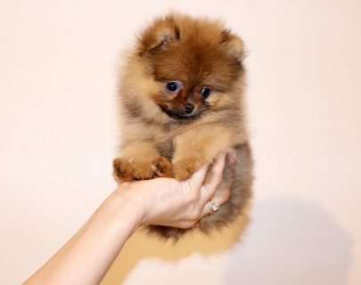 كلب صغير طويل الشعر رائعتين للبيع