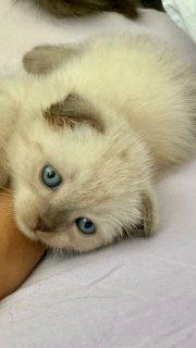 قطة سكوتش فولد للبيع