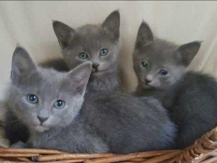 الذكور والإناث رائع تولد القطط الفارسي
