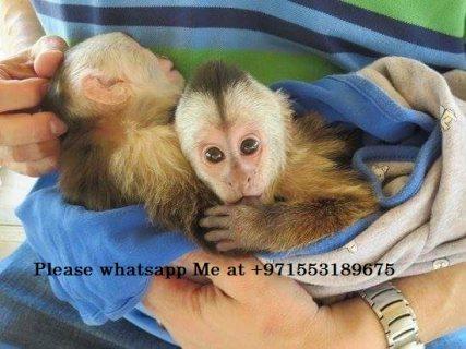 القرود كابوتشين. قرود عالية الجودة ، عمرها 19 أسبوعًا