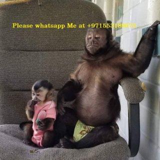 يونغ أنثى القرد Capuchin لإعادة صاروخ موجه