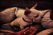 كلب شيواوا