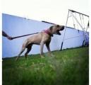 كلب بيت بول  امريكي اصلي مع الشهايد وخالي من الامراض