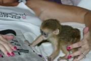 Capuchin Monkeys for Adoption in to Loving homes