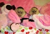 Lovely Male And female Capuchin Monkeys For Adoption