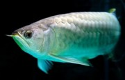 Healthy Aquarium Arowana fishes available for sale