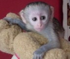 trained and good quality capuchin monkeys for a loving home for