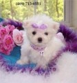 Maltese Puppies with AKC Registration