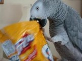 CHECKED TALKING CONGO AFRICAN GREY PARROTS