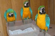 Home raised and very friendly blue and gold macaw parrots.