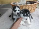 Cute Male and Female Husky