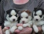 Registered Siberian Husky for Adoption