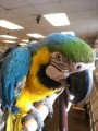 Special Trained Talking Blue and Gold Macaw for sale