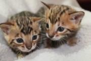 Bengal Cat for Adoption