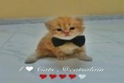 قطط بريطانية شيرازية للبيع بعمر 20 يوم