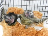 capuchin / marmoset / lamur monkeys