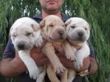 كلاب شاربي الصيني