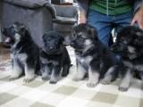 Gorgeous German Shepherd Puppies Ready For Adoption