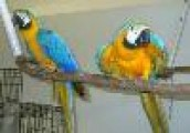 Adorable Blue and Gold Maws for Sale Contact