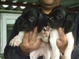 كلاب البوينتر