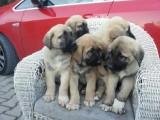 كلاب كانجل للبيع