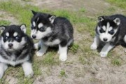 THEY LOVE TO PLAY WITH KIDS(( SIBERIAN HUSKY PUPPIES READY FOR G