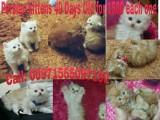 قطط شيرازي بيور 40يوم / Persian kittens 40 days