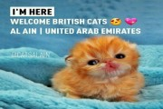 قطط بريطانية شيرازية بعمر 25 يوم للبيع