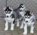 Purebred Blue Eye Siberian Husky Puppies Available