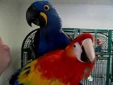 Well trained and hand raise baby macaws for relocation.