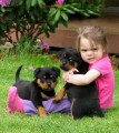 Gorgeous teacup rottweiler puppies