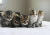 Siberian Kittens  For adoption.