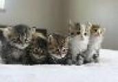 Siberian Kittens  For adoption.