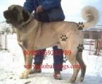 كلب كنجال تركي الضخم للبيع