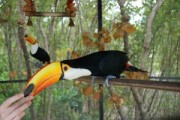 male and female Toucans