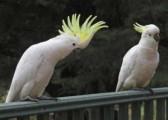 Cockatoo birds  For Sale